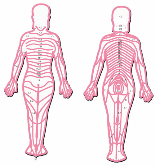 Head Zones: The body segments (Head zones) are named after the spinal cord segments. Dependant on where the nerves leave the spinal cord, they are referred to as: 8 Cervical segments (C1–C8); 12 Thoracic segments (Th1–Th12); 5 Lumbar segments (L1–L5); and 5 Sacral segments (S1-S5). Skin, segment tissue and inner organs, which are supplied by the same spinal cord segment, can be seen as a functional unit. Graphic re-worked from an original in 'The Anatomical Atlas of Chinese Acupuncture Points', Shandong Science and Technology Press, 1982.