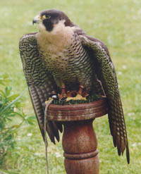 Nesbitt the Peregrine Tiercel who provided the substance for the remedy Falco