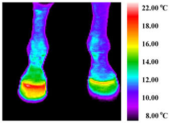 Fig. 2. Compare the right leg with the left- the heat from the infection can be seen spreading up the foreleg.