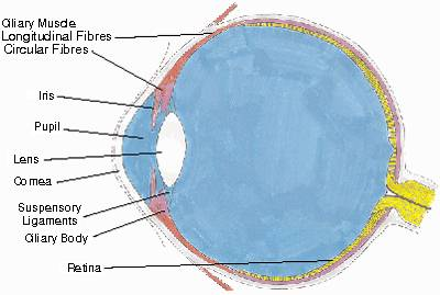 Ciliary+muscle+of+the+eye