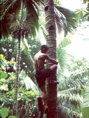 Collecting the Palm Tree Syrup