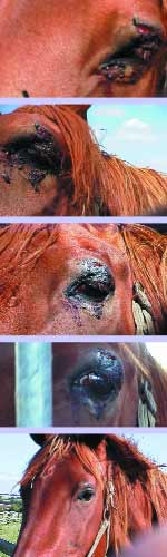Treatment of a Gelding's cut eyelid using Skenar between 03 September and 14 September 2000 Photographs for this article courtesy of John Halford. johnhalford@compuserve.com