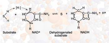 General reaction showing how NAD+ acts as a coenzyme in enzymatic dehydrogenation reactions