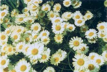The healing energy in yellow daises promotes clarity of mind and the abilityto absorb information. As daisies resemble eyes, they are often made into remedies for the treatment of sore and strained eyes