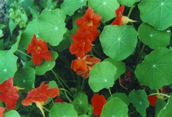 Gold and orange vibrations in Nasturtiums make their homoeopathic remedy useful for elimination of toxins and detoxification of the liver, pancreas and gallbladder