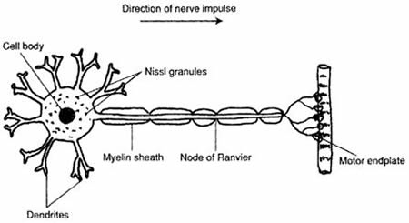 Positive health online article me myalgic encephalomyelitis or diagram of normal nerve cell terminating at a muscle ccuart Gallery