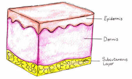 The skin is constituted of two strata: the epidermis, where epithelial cells are located, and the dermis.