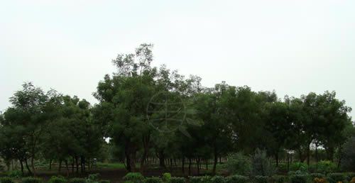 Neem Farm, courtesy of Neem Foundation