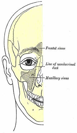 Anatomical Drawing of Facial Structures