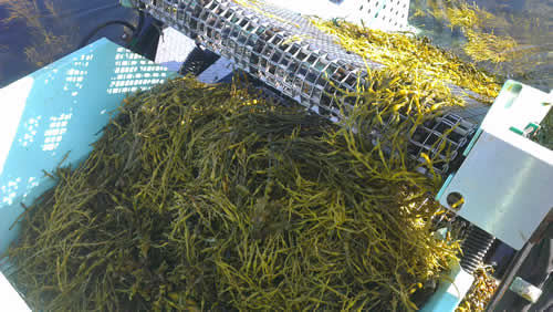Seaweed in the Daily Diet