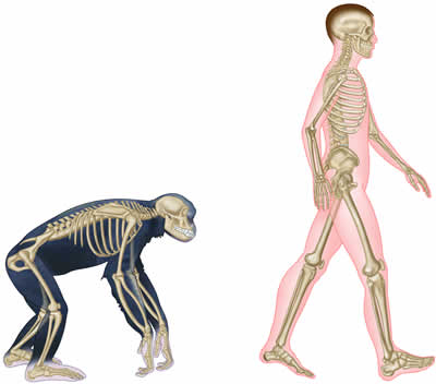 positive health online | article - the functional anatomy of walking, Skeleton