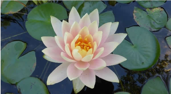 Lotus Flower Living Wisdom