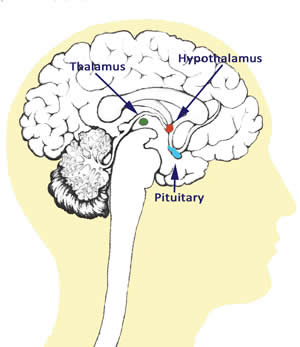 Fig. 2. Hypothalamus