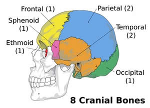 Arrangement of Cranial Bones
