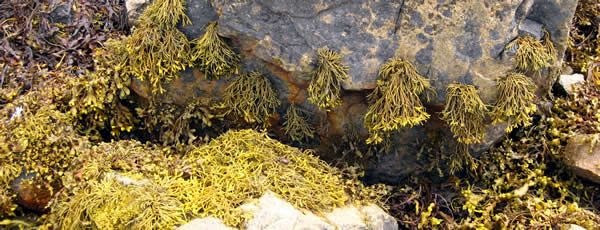 Seagreens Pelvetia hanging from rocks