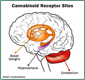 Cannabinoid Receptor Sites