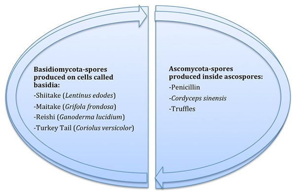 Diagram 1: Two Main Families of Mushrooms