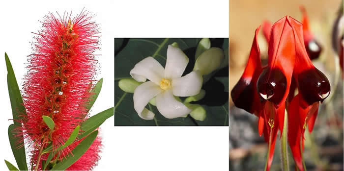 Bottlebrush, PawPaw and Sturt Desert Pea