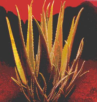 Aloe Vera Plant from Issue 20