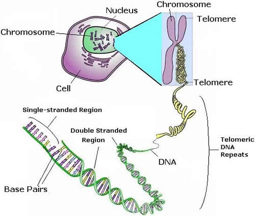 Cell DNA Structures Complexity