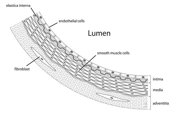 Diagram showing the location of vascular smooth muscle cells