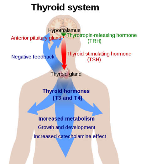 Overview of the thyroid system