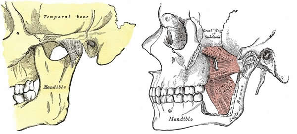 TMJ + left medial pterygoid muscle