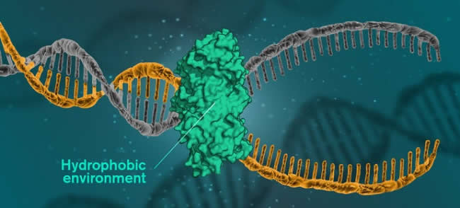 DNA Hydrophic Environment