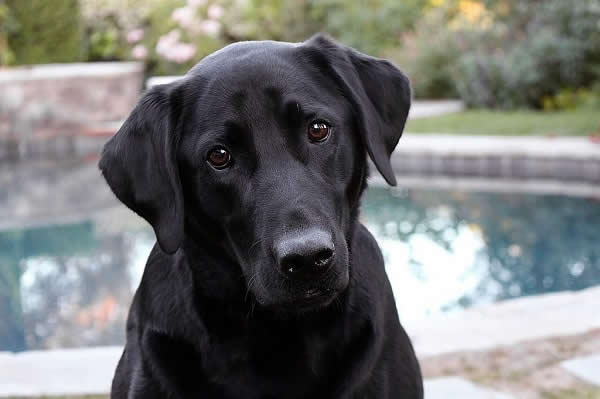 Labrador Retrievers are commonly used as they have a strong desire to undertake scent work