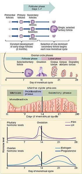 Female Menstrual Cycle with Hormones