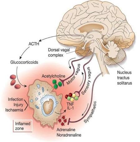 Autonomic Nervous System Responses To Inflammation