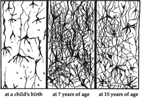 Neural Pathways Acquired at Different Ages