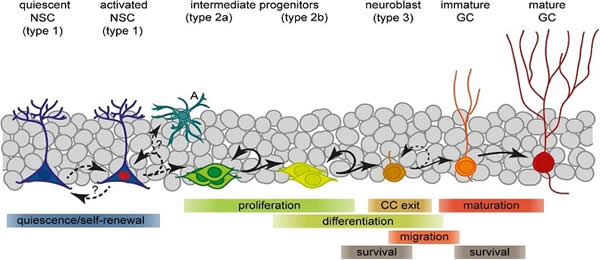 Lineage progression and fate decisions in adult hippocampal neurogenesis