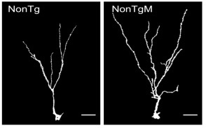 Increase in dendritic complexity in mice treated with Coriolus versicolor