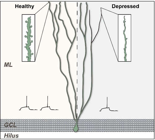 Newly generated granule cells then extend axons or dendritic branches