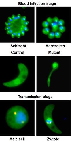 Malaria Parasite Plasmodium at Specific Stages in the Mosquito Gut