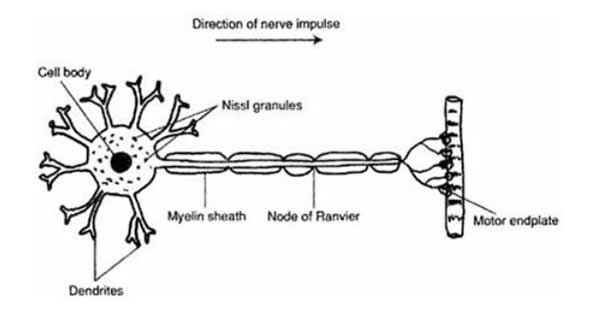 Diagram of normal nerve cell terminating at a muscle