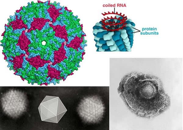 MS2 + TMV + Varicella + Adenoviruses