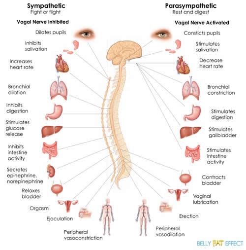 Symp and Parasymp diag